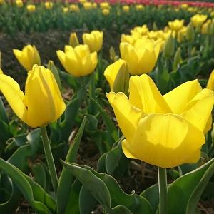 黄いチューリップ